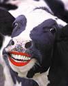 Lipstick-cow