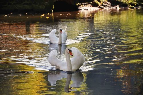 Gorge-swans