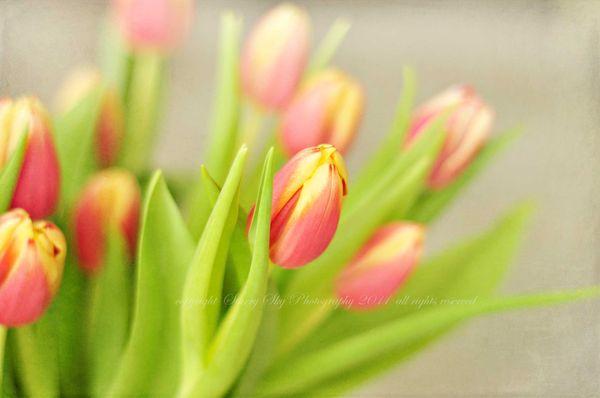 Tulips-mark