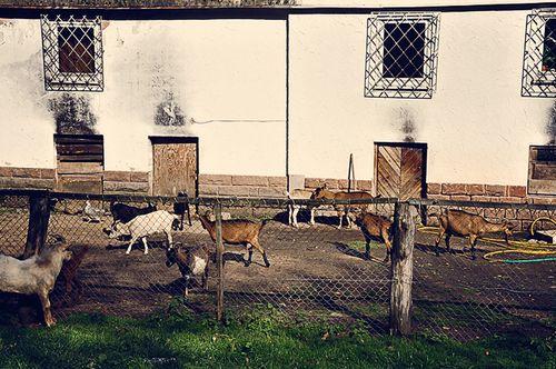 2010 Trippstadt goats barn web