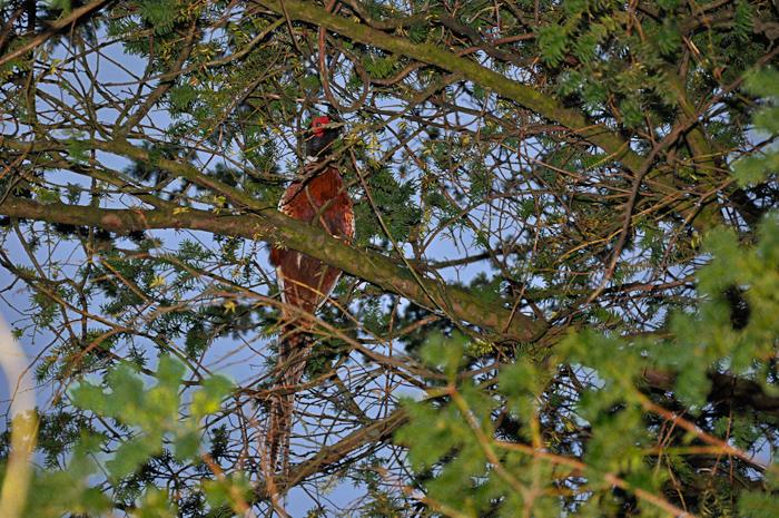 pheasant web-3