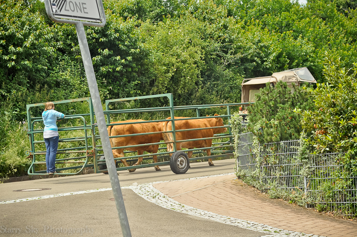 cows street web