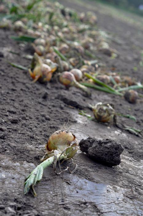 onions1 web