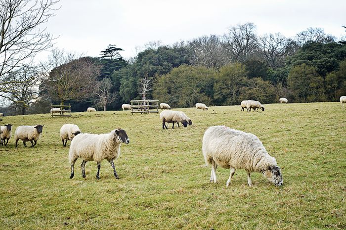 Feb 2013 ickworth sheep web
