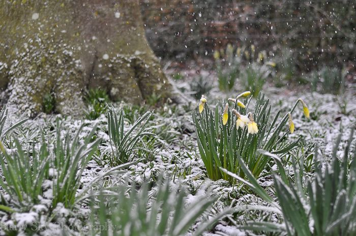 Mar 2013 daffodils snow web-2