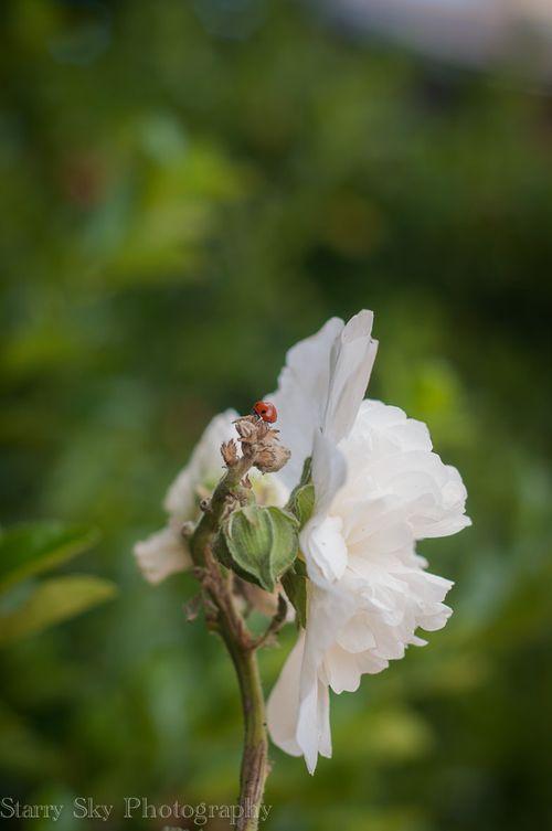 ladybug web