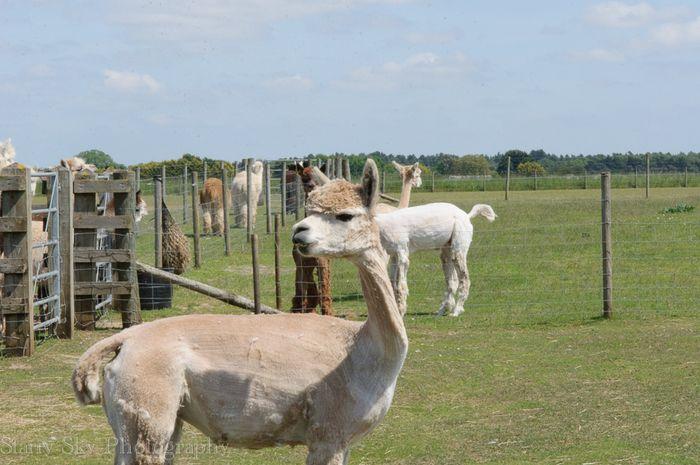 Jun 2013 alpaca