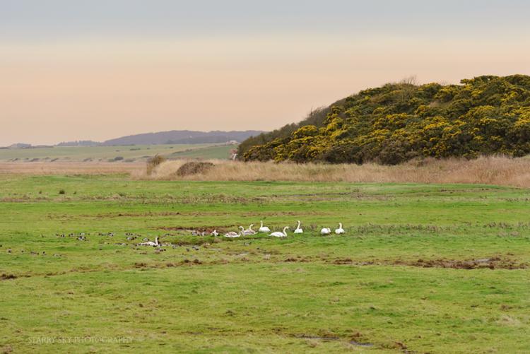 Jan 2014 cley swans web