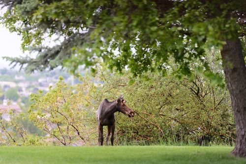 May 2015 moose web (3 of 8)