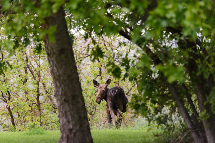 May 2015 moose web (7 of 8)