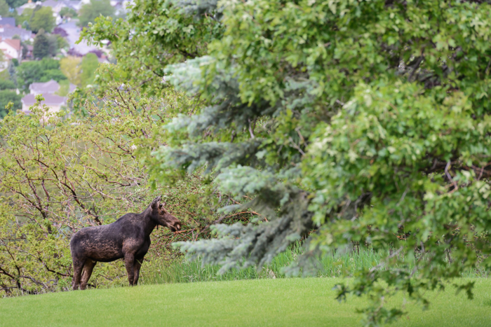 May 2015 moose web (2 of 8)