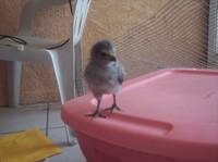 Gray_chick4_1